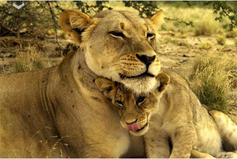 Hvad siger løven og andre vilde dyr